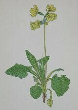 Oxlip, Primula : Original 1938 Hand-Coloured Etching by FRITZ KREDEL