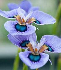 2 Impressive Blue Moraea Iris Bulbs Perennial Bonsai Flower Rare Plants Stunning