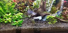 New listing 6 assorted guppies. Dumbo. Ribbon fins, Ivory. Moscow. Red Mosaic No Reserve