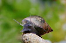 20+ Live pond snails (Bladder/Tadpole snails) for aquarium and pond. FREE SHIP