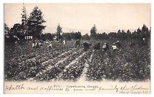 1909 Picking Strawberries in Oregon Postcard