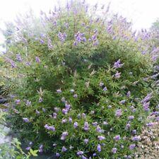 Vitex agnus-castus 'Latifolia' - Arbre au poivre - Gattilier bleu