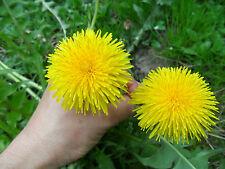 Giant Dandelion »Culinary, Medicinal ,Unusual Large Dandelion Flowers -10 seeds