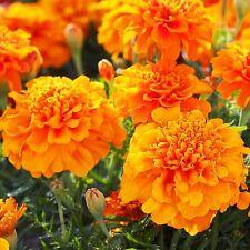 FRENCH MARIGOLD PETITE ORANGE - 400 seeds - Tagetes Patula nana ANNUAL FLOWER