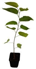 Koreanische Zwergmaulbeere - Mulle - Pflanze schwarze Maulbeere Rarität