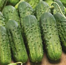 Seeds Cucumber Bush Gherkin Pickling Vegetable Organic Heirloom Russian Ukraine