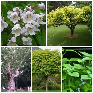 Indian Bean tree! Ideal for UK tropical gardens! HARDY! FAST GROWING. Plug plant