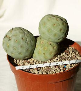 Tephrocactus geometricus big | Fiambala Argentina | Own Roots | Rare Cactus