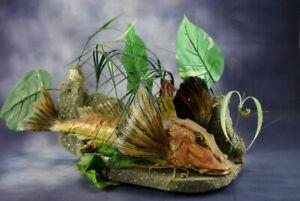 Amazing Tub Gurnard Lucerna Taxidermy Fish