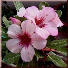 5 seeds Adenium,Ginger, Arabicum, Desert Rose