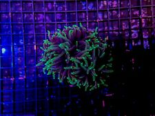 CE- WYSIWYG Colony 3x Head Green Tip Torch Euphyllia - Live Coral Frag #T1