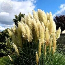 100x White Pampas Grass Cortaderia Selloana Seeds Ornamental Flower Plant Bonsai
