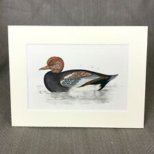 Antique Print 1860 Hand Colored Engraving Bird Red Crested Whistling Duck