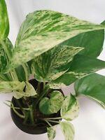 "Air Purifier  Devil's Ivy Pothos 4"" Pot Easy to Grow Live Plant"
