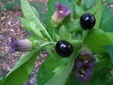 25 SEMI DI BELLADONNA - Atropa belladonna