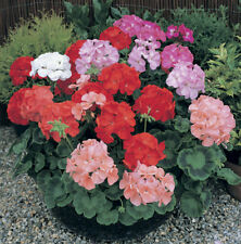 24 Geranium Cabaret Mixed. Pelargonium Mini Plug Plants for potting on.