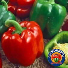 200 Keystone Giant Pepper Heirloom Seeds + Gift - COMB S/H