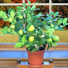 Bonsai Kaffir lime Seeds Super Big Raspberry Exotic Plants Gift Home Decor Art