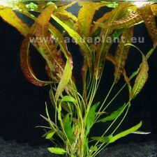Cryptocoryne Usteriana/Aponogetifolia Topf, Wasser-, Aquarienpflanze, Barschfest