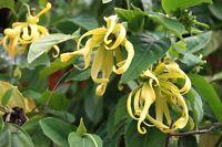 exotische Blüten Rarität Saatgut seltene Garten Balkon Pflanze PARFÜMBAUM