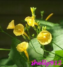 Yellow Trumpet Morning Glory - Ipomoea hederifolia var. lutea - 12 fresh seeds