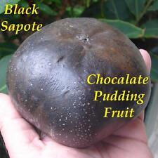 ~BLACK SAPOTE~ Chocolate Pudding Tree RARE FRUIT Diospyros digyna LIVE PLANT