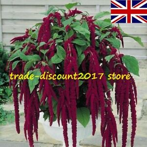 100 Seeds of Amaranthus Caudatus Red (Love Lies Bleeding) Annual Vegetable Plant