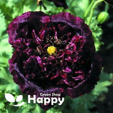 POPPY BLACK PEONY - 500 SEEDS - Papaver Paeoniflorum - Huge double flower