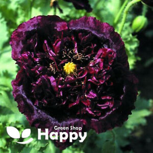 POPPY BLACK PEONY - 1500 SEEDS - Papaver Paeoniflorum - Huge double flower