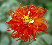 50 Semillas de Zinnia Elegans Roja  (Youth and old age)