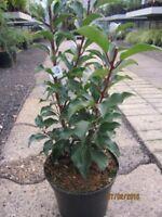 Portugiesischer Kirschlorbeer Brenelia -S- - Prunus lusitanica Brenelia -S-