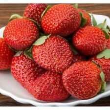 10 Ozark Everbearing Strawberry Plants - Bare Roots - Great Flavour