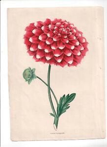 1836 Florists' Magazine, Botanical, Hand coloured plate, Lewick's Incomparable,