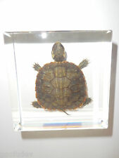 Farmed Red-eared Slider Turtle in Clear Square Paperweight Education Specimen