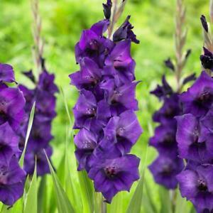 10 Gladioli Purple Flora Beautiful Flowering Perennial Summer Garden Bulbs