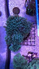 New listing live coral colony wysiwyg Blue/ Green Hammer Large 10+ Heads.