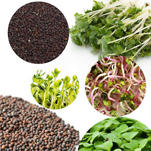 Organic Sprouting Seeds - Alfalfa Broccoli SPROUTS MICROGREENS with INSTRUCTION