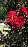 Crepe Myrtle Ebony Diamond Red Fire Lagerstroemia pint plant