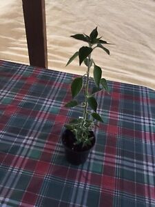 Black cobra Hot Pepper plant Well Rooted 9 Inch Tall Comes In a 3 Inch Pot.