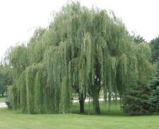 Australian Willow  (Geijera parviflora) 25 Seeds