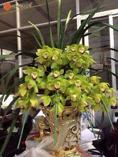 100 Green Cymbidium Seeds Garden Terrace Orchid Bonsai Seeds