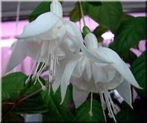 5 X   FUCHSIA WHITE KING PLUG PLANTS FREE POSTAGE READY NOW