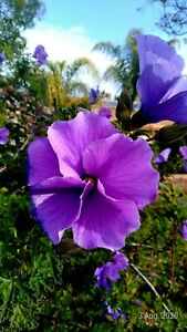 Alyogyne huegelii (Lilac or Blue Hibiscus) x 50 seeds. Native. Marvelous Mallow
