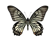 One Real Butterfly Chilasa Veiovis Indonesia Unmounted Wings Closed