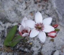 geissorhiza ovata      5  seeds