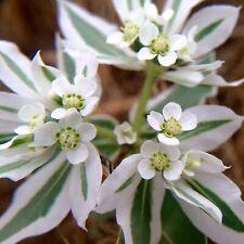 Phyteuma spicatum Dardenne Griffe du diable sur 50 graines