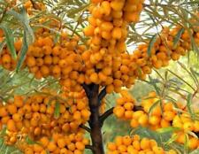 "SEEDS – Dwarf Sea Buckthorn ""Amber Dawn"" Compact Hardy Shrub For Colder Climate!"