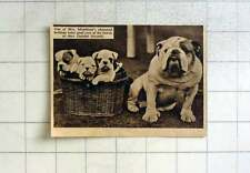 1938 Mrs Monkland Champion Bulldog At Datchet Kennel