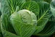 Légumes Choux Langedijker 4 Salade de Chou Choux Environ 1500 Graines
