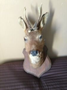 taxidermy vintage French deer
